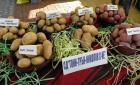 Перник снимка: за хората и събитията - Празник на картофа в Трън