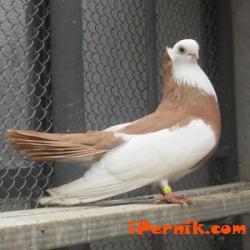 Базар на гълъби, декоративни кокошки, екзотични и пойни птички, домашни любимци 04_1396452443