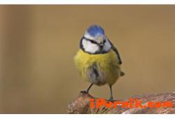 Синигерите изяждат много сланина през зимата 12_1418215452