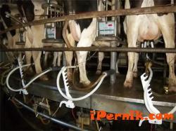 Показват робот за доене на крави 02_1423124800
