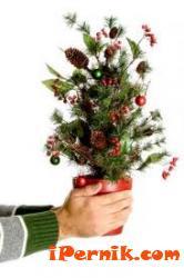 Перничани могат да засадят коледните си дръвчета 02_1423488605