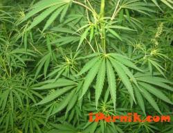 Измислиха нов вид марихуана в Израел 02_1423578702