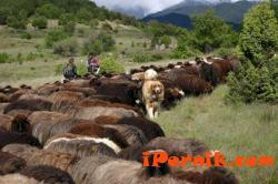 Мор натършка животни в Западен Пирин 03_1426169801