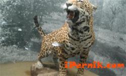 Препарираха и изложиха ягуара Алонсо 05_1430652292