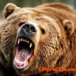 Пчелин край пернишко е бил нападнат от мечка 06_1434088955