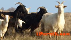 Дребни преживни животни от Гърция са причината за бруцелозата 08_1439537235
