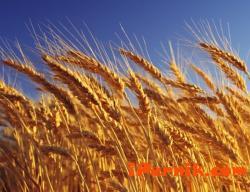 През тази година пшеницата е по-малко спрямо миналата 10_1444384277