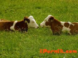 Ще глобяват за измама с ушни марки за добитък 10_1445859319