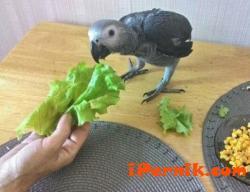 В смолянско се излюпи нов вид папагал 11_1448093708