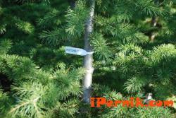 В Кюстендил и Перник ще има 5 000 елхи по пазарите 12_1449736386