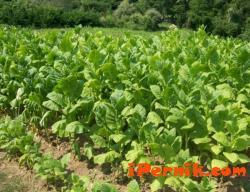 Тютюнопроизводителите нямат гаранции, че тютюнът им ще бъде изкупен 01_1453644996