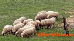 Не могат да се пасат животни на територията на община Перник 02_1454593072