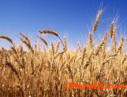 Цените на пшеницата са се понижили 02_1454658467
