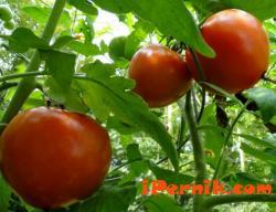 Оранжерийните домати поскъпват 04_1459747470