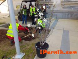 Сложиха магнолия пред Здравната каса в Перник 04_1460103000