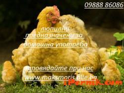 Инкубатори-Люпилни автоматични 10_1414335012