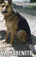 Загубена 2 годишна женска немска овчарка