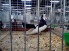 Пернишкият гълъб с приз на европейската изложба в Мец