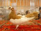 Пернишкият капест гълъб