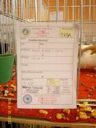 Пернишкият капест гълъб - оценката