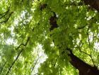Засегнатите от корояд дървета в Пернишко ще бъдат заместени от широколистни видове 09_1409572883
